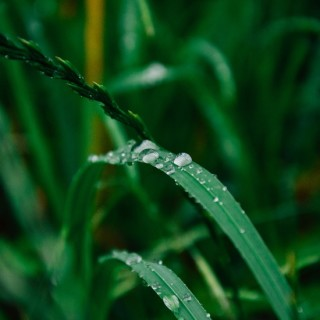 grass-drop-after-rain-large